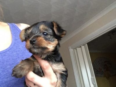 Super Tamed Twins Champion pedigree Yorkshire Terrier Puppies Available For Good