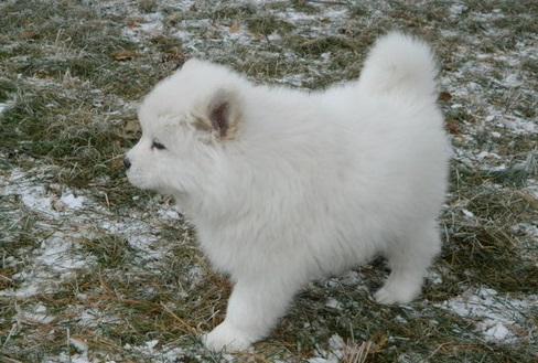 Excellent White Samoyed Puppies For Sale – Local Classifieds