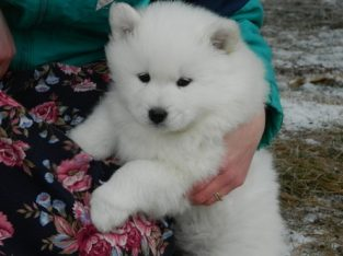 Excellent White Samoyed Puppies For Sale