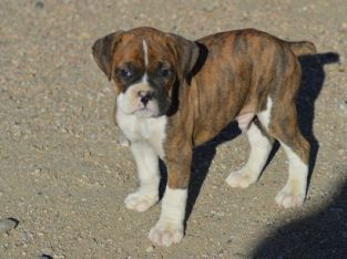 Quality KC Registered Boxer Puppies ready