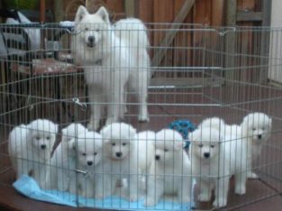 pure bred home reared Samoyed puppies available