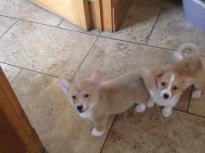 Welsh Corgi Puppies Available for their new home