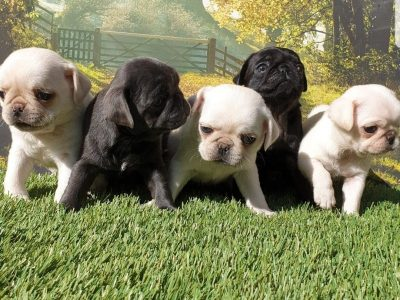 Beautiful Pug Babies puppies