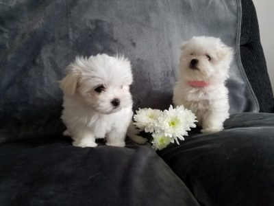 Snow White Baby Doll Face Tea-Cup Maltese Terrier Puppies.