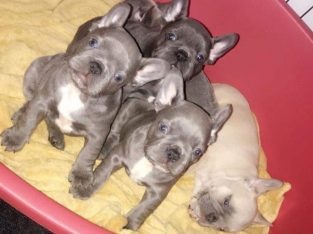 Adorable! French Bulldog Puppies Available