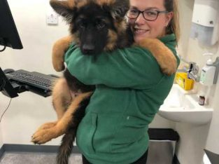 Kc Reg German Shepherds From Health Tested Parents