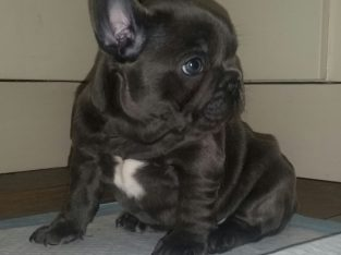 Blue And Blue Fawn French Bulldogs Champion Lines