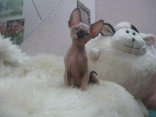 Hairless Canadian Sphynx kitties (781) 262-3477