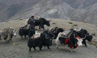 Yak caravan trek in Dolpo