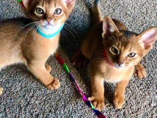 4 gorgeous pure bred Abyssinian kittens for sale.