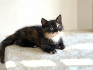 kittens near me for sale