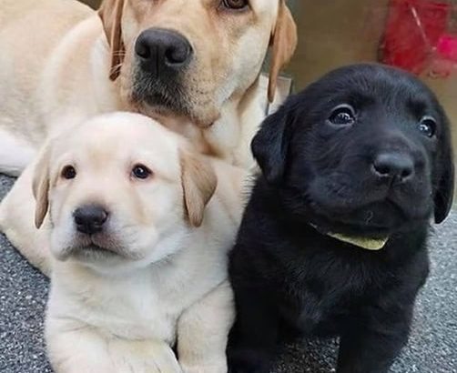 Labrador puppies for sale in Connecticut CT